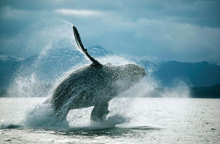 壁纸 动物 海洋动物 鲸鱼 桌面 700_461